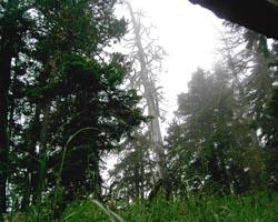 Пихтовый лес, подъем на Княжескую поляну